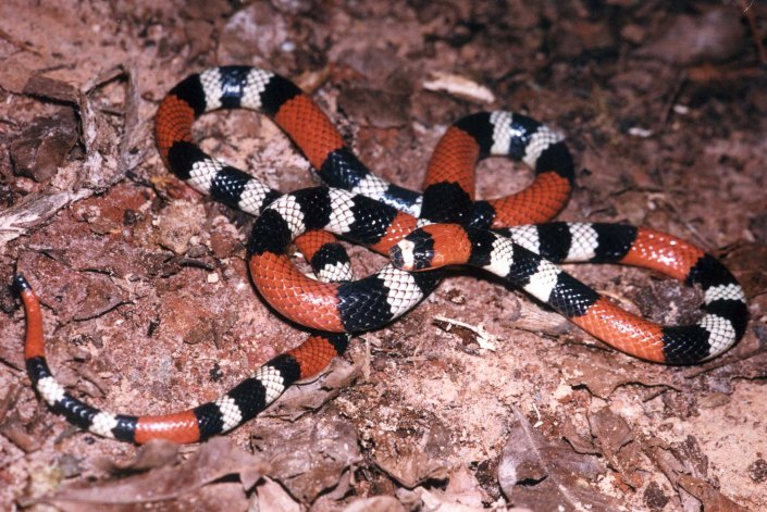 micrurus_lemniscatus